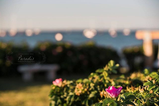 beach roses at sunset in biddeford pool maine