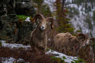 The Bighorn Sheep
