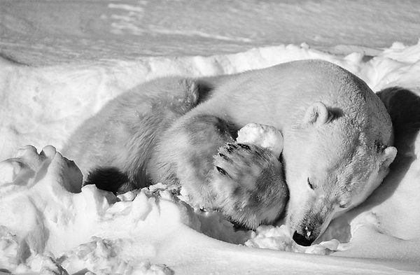 P.Bear-Playing-w.-Ice-04_KBG_BW-e1542579