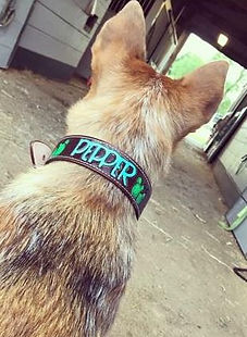 dog collar photo.JPG