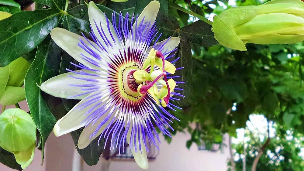 20 Best Creeper Plants - Passion Flower Vine
