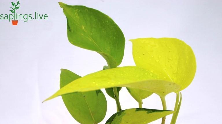 20 Best Creeper Plants - Devil's Ivy (Money Plant)