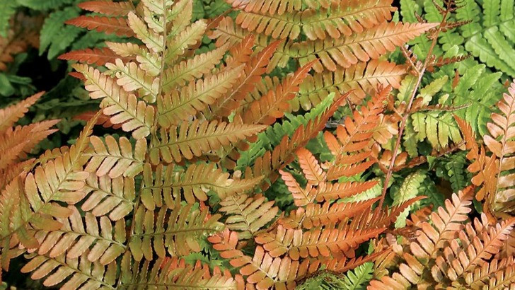 20 Best Autumn Fern Plants - Autumn Fern