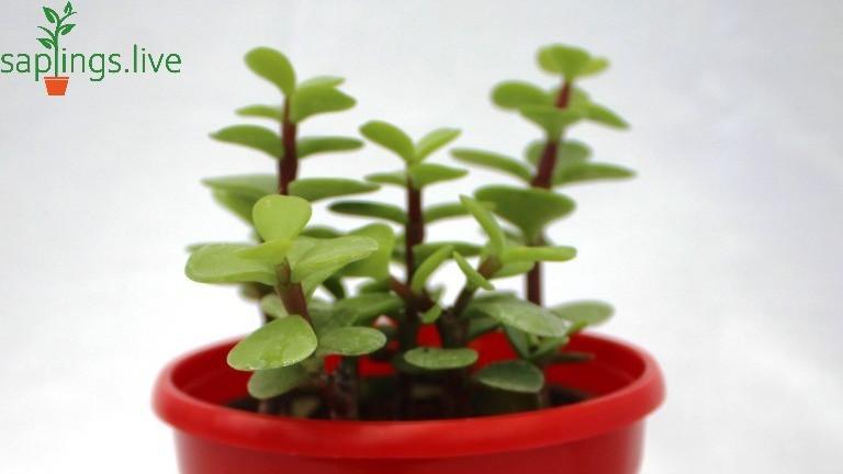20 Best House Plants - Jade Plant