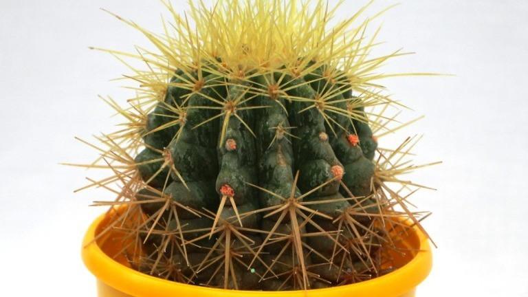 20 Best Office Plant - Golden Barrel Cactus
