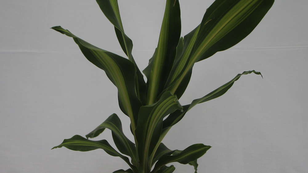 20 Best Air Purifying Plants - Mass Cane (Corn Plant)
