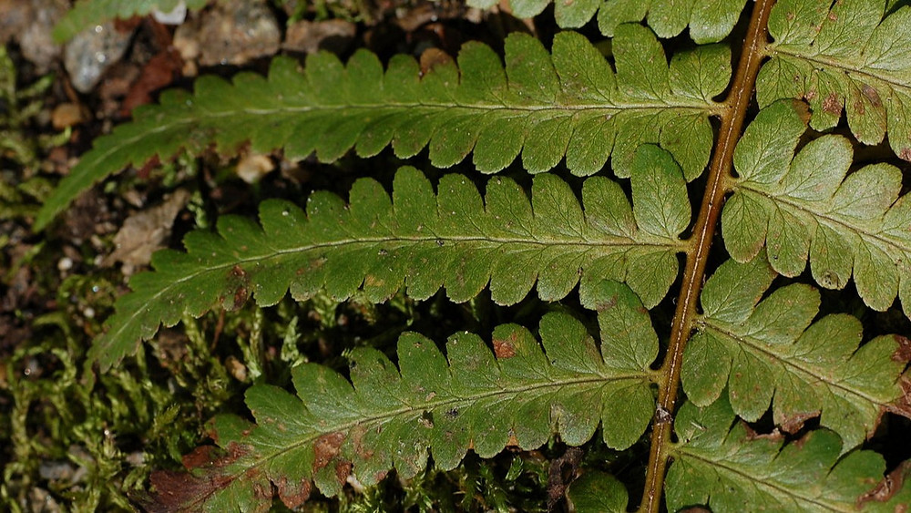 20 Best Fern Plants - Wood Fern