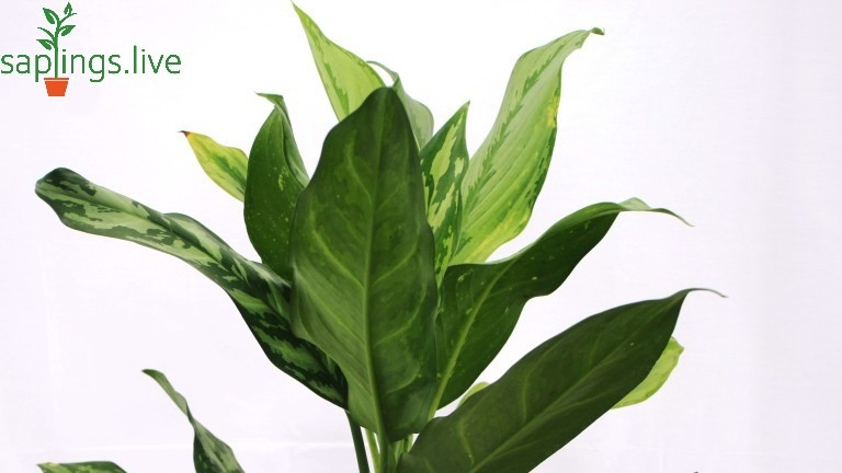Best 20 Office Plants - Chinese evergreen