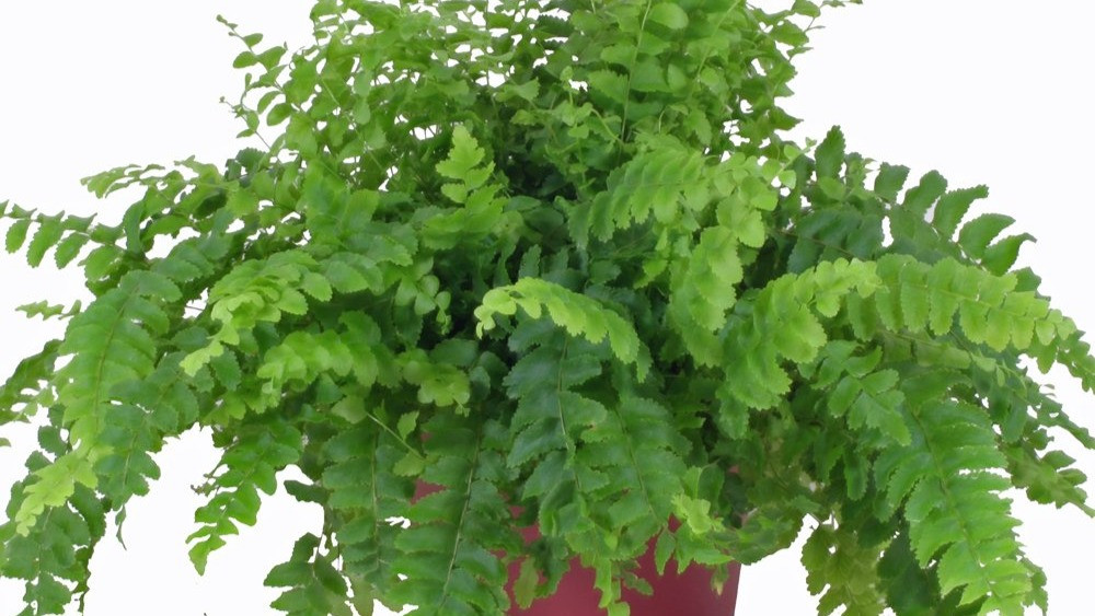 20 Best Fern Plants - Dallas Fern