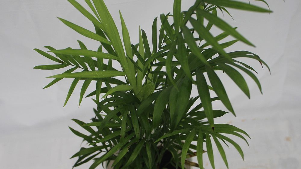 20 Best Air Purifying Plants - Chamaedorea Elegance (Parlor Palm) Plant