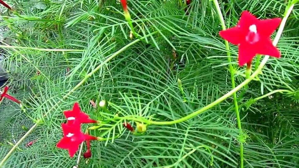 20 Best Creeper Plants - Cypress Vine
