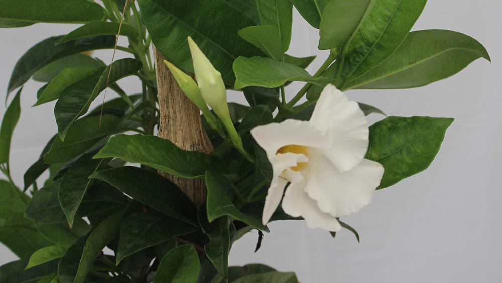 20 Best Creeper Plants - Allamanda (Mandevilla) Plant