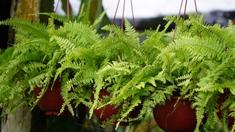 20 Best Fern Plants - Kimberly Queen Fern