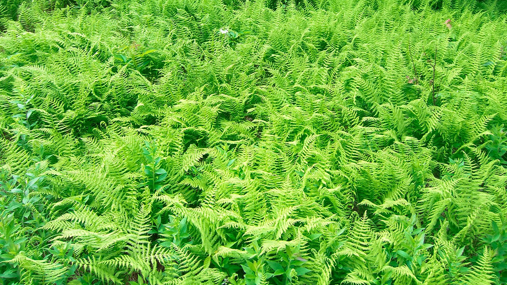 20 Best Fern Plants - Hay Scented Fern