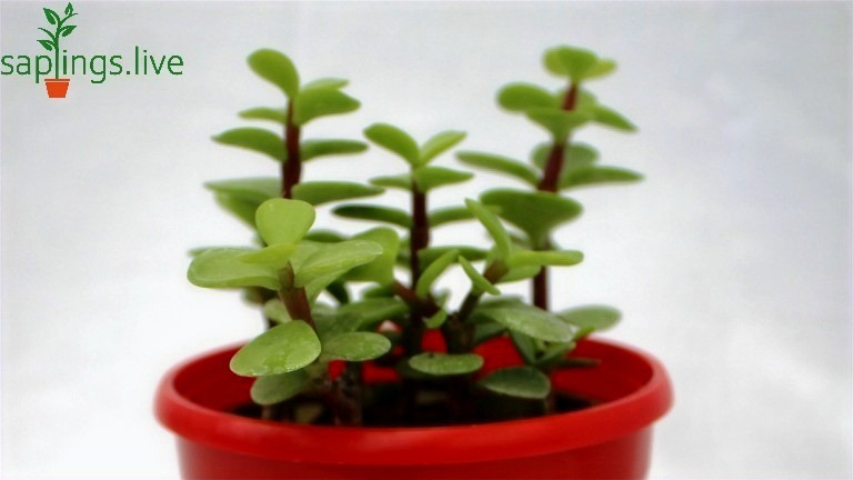 Best Office Plants  | 1. Jade Plant