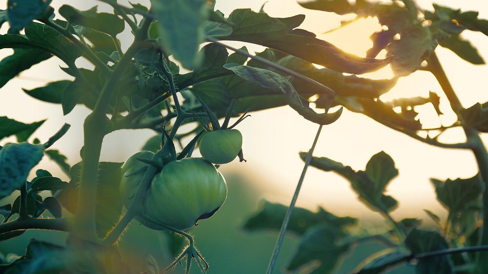 20 Best House Plants - Tomato Plant