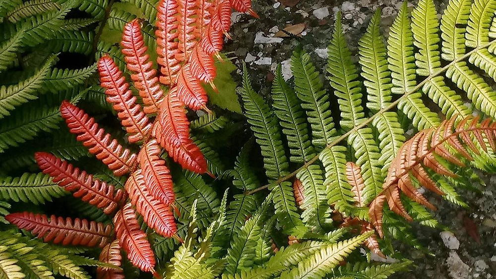 20 Best Fern Plants - Sunset Fern