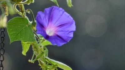 20 Best Creeper Plants - Morning Glory Vine