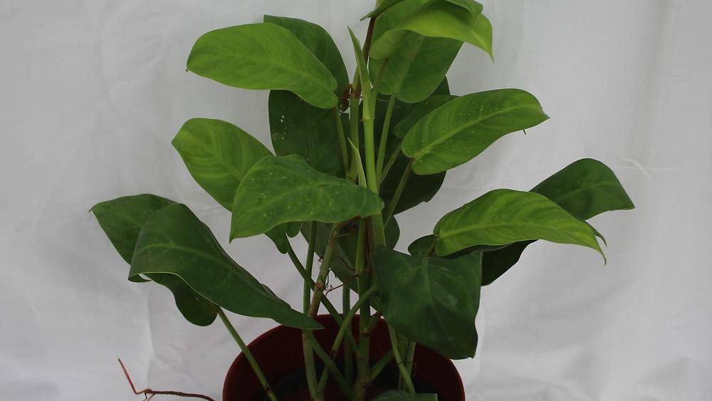 20 Best Indoor Plants - Philodendron Ceylon Green