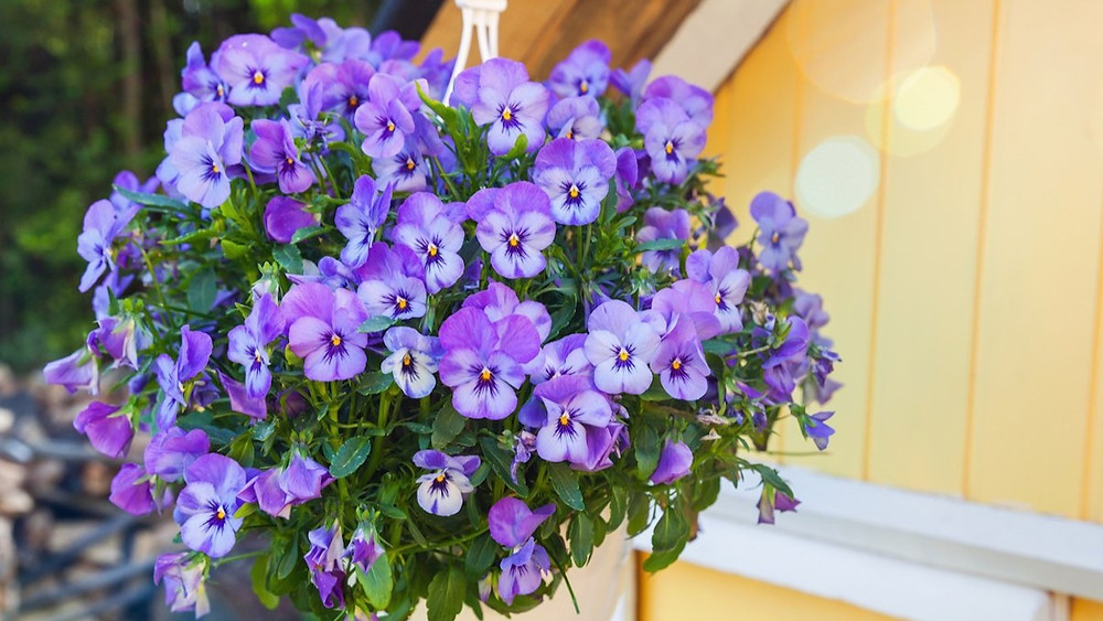 20 Best Hanging Plants - Pansy