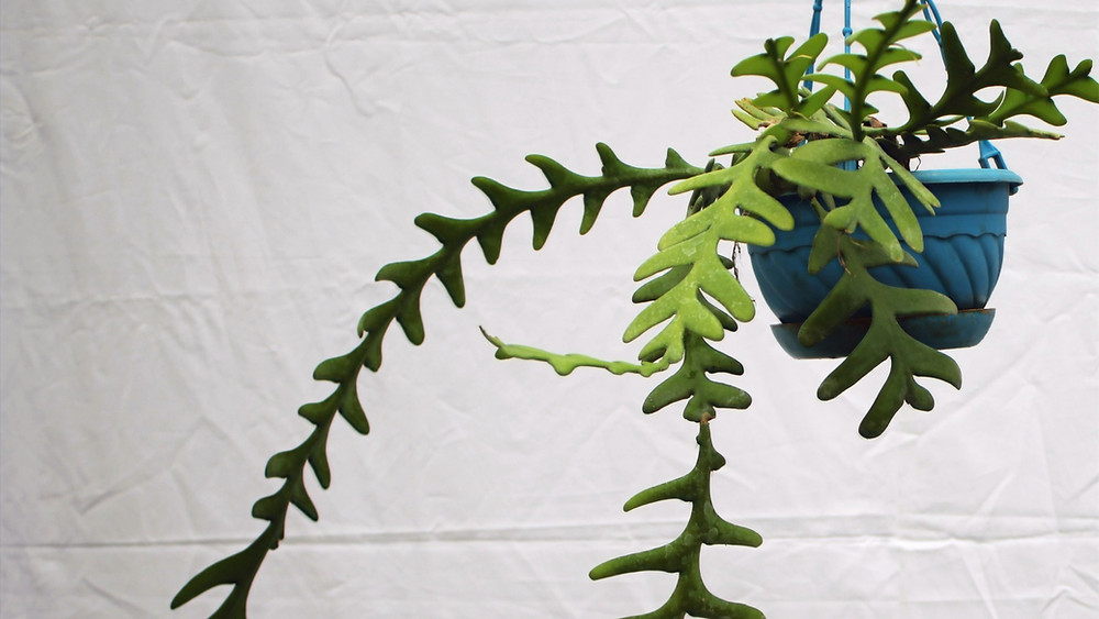 20 Best Hanging Plants - Fishbone Cactus