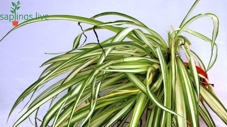 20 Best Office Plant - Spider Plant (Chlorophytum)