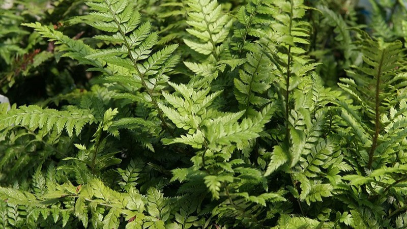 20 Best Fern Plants - Korean Rock Fern
