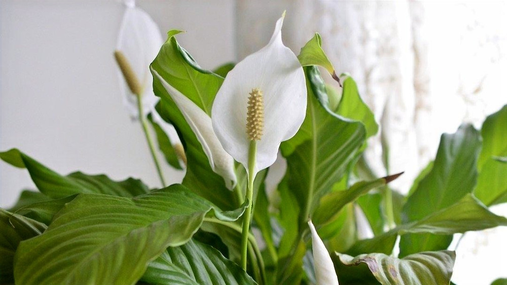 Best Plants for Office - Peace Lily