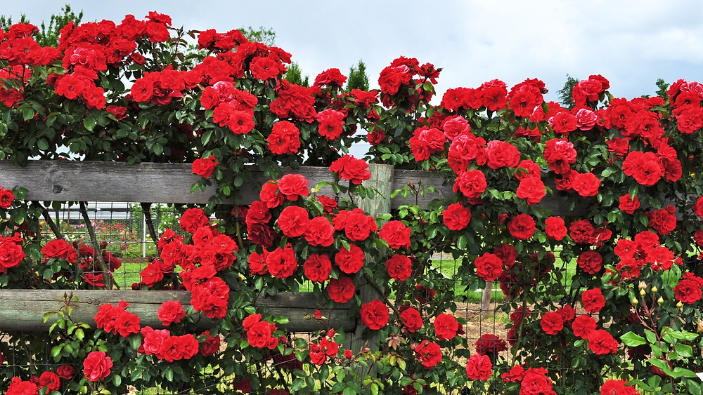 20 Best Creeper Plants - Climbing Rose