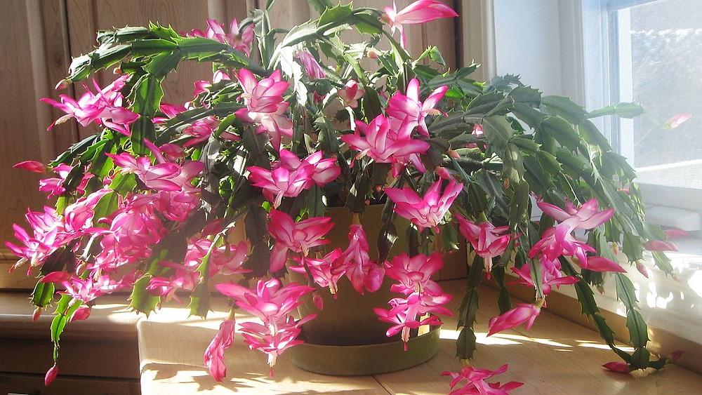 20 Best Indoor Plants - Christmas Cactus