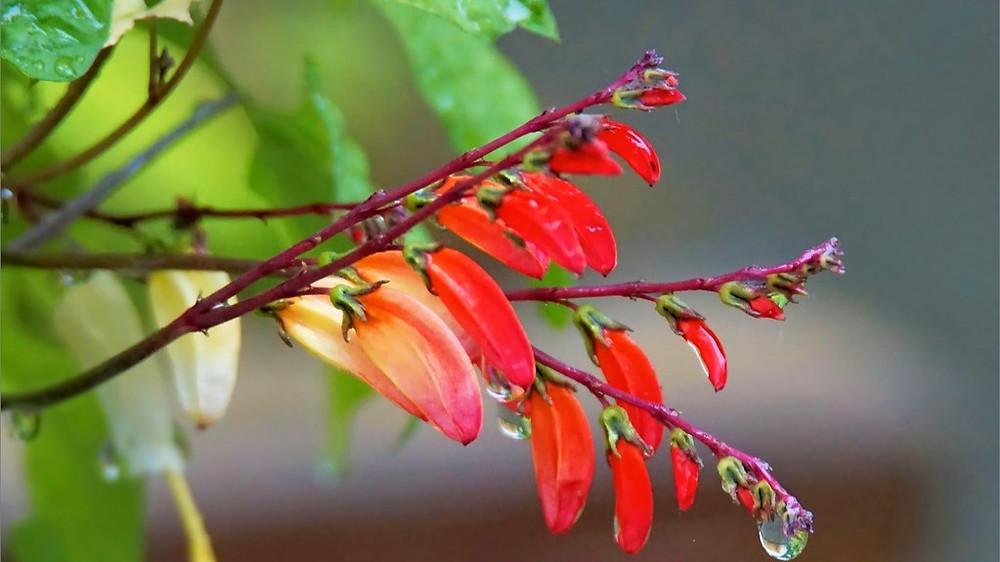 20 Best Creeper Plants - Firecracker Vine