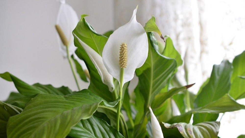 20 Best Air Purifying Plants - Peace Lily's Plant