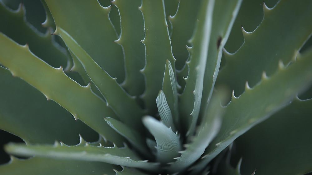 20 Best Indoor Plants - Aloe Vera