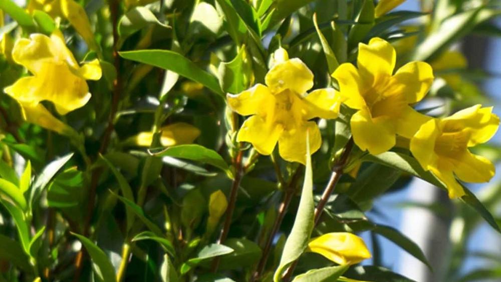 20 Best Creeper Plants - Caroline Jessamine