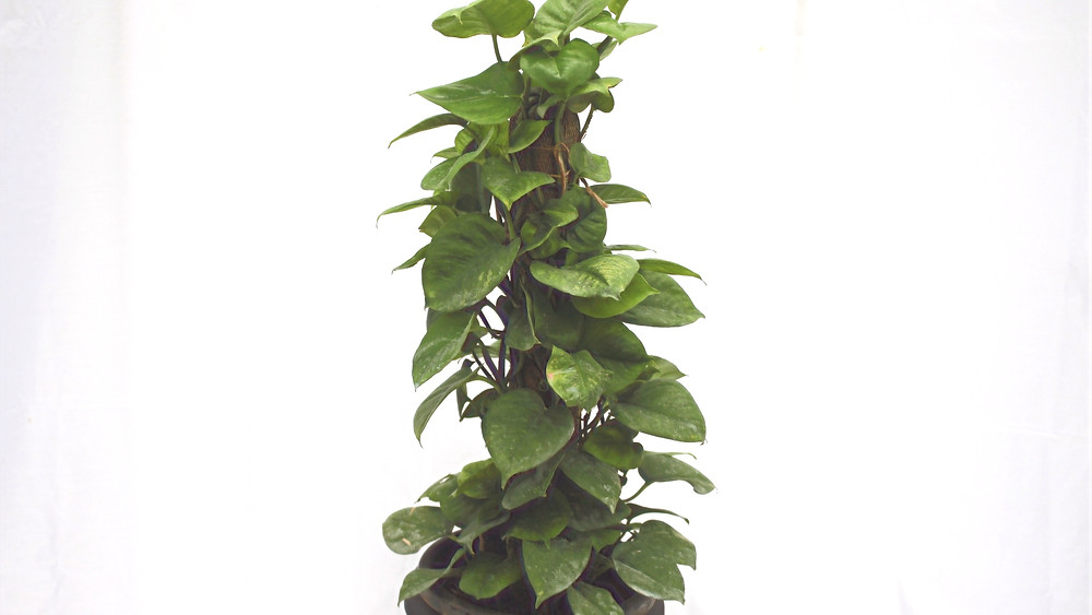 20 Best Creeper Plants - Philodendron Hederaceum