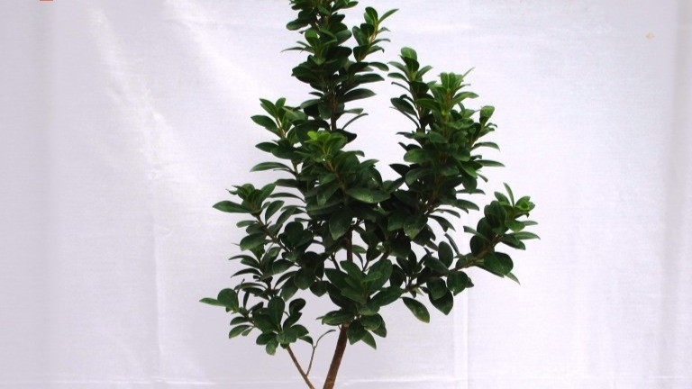 20 Best Air Purifying Plants - Ficus Tree