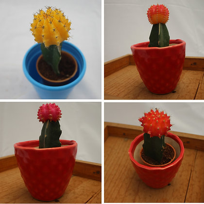 Best4 - Moon Cactus Combo Pack