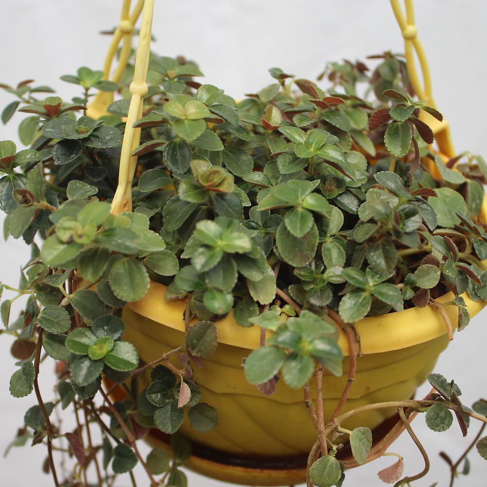 20 Best Hanging Plants - Pilea Nummulariifolia Plant (Creeping Charlie)