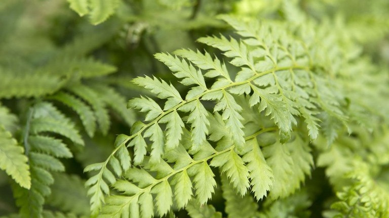 20 Best Fern Plants - Soft Shield Fern