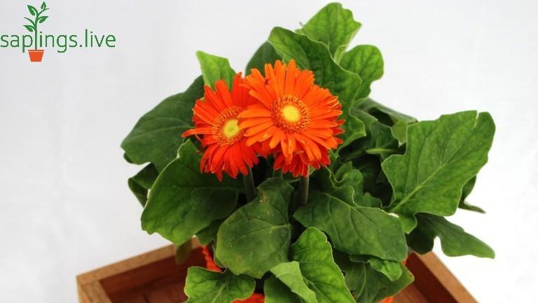 20 Best Office Plant - Gerbera Plant