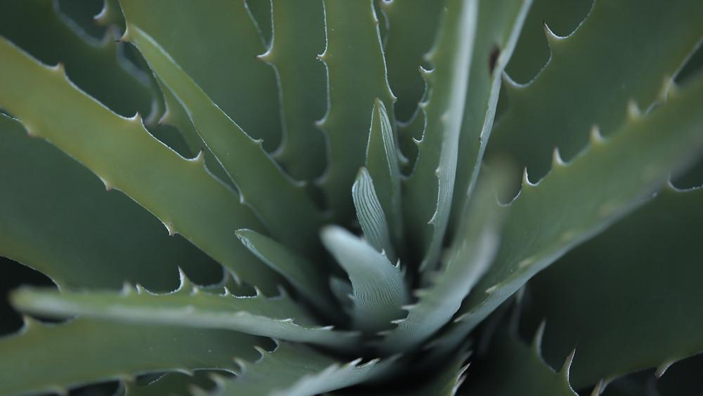 20 Best Succulent Plants - Aloe Vera Succulent