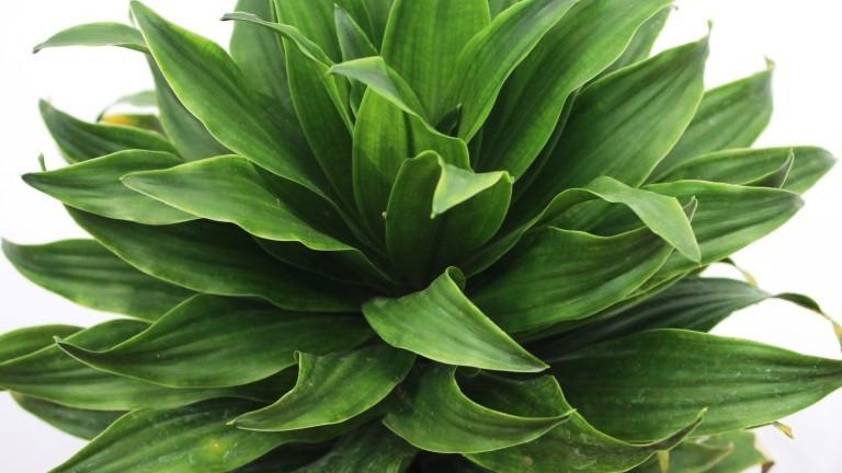 20 Best Indoor Plants - Dracaena