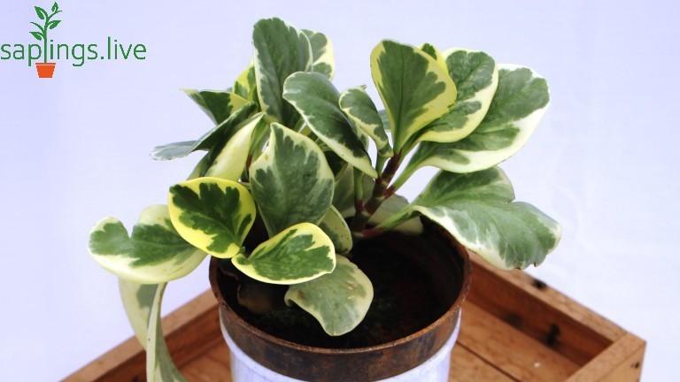 20 Best Indoor Plants - Peperomia Plant