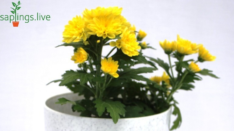 20 Best Air Purifying Plants - Pot Mum Plant (Chrysanthemum Plant)