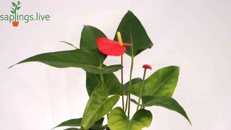 20 Best Indoor Plants - Anthurium
