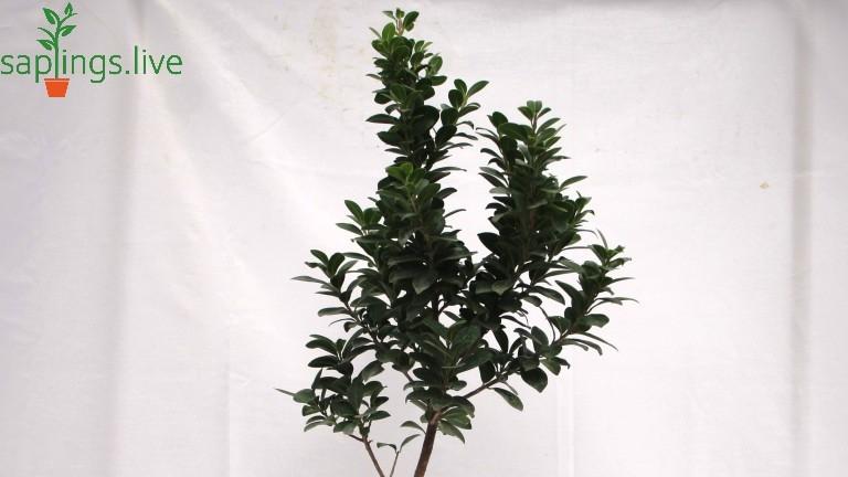 20 Best Indoor Plants - Ficus Tree Plant