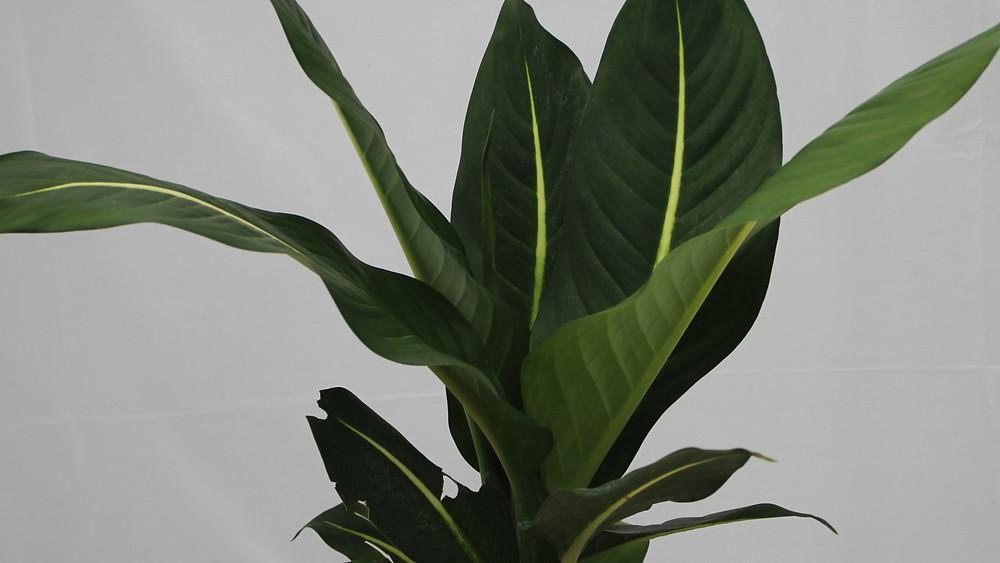 20 Best Indoor Plants - Dieffenbachia plant