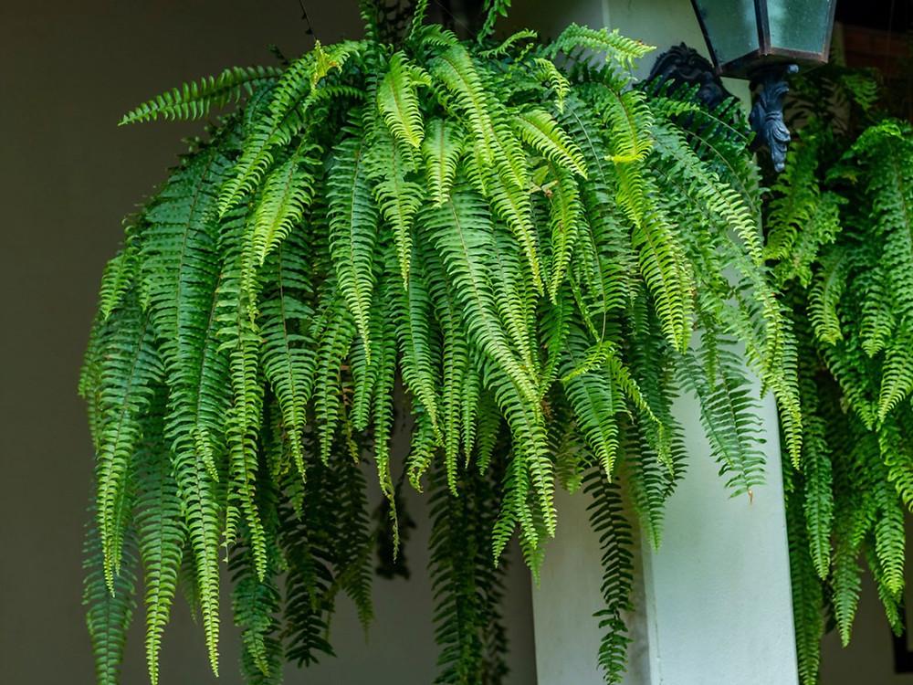 20 Best Hanging Plants - Boston Fern