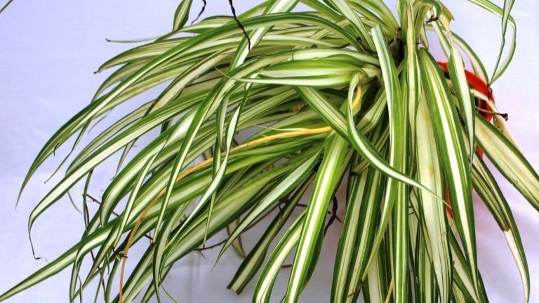 20 Best Indoor Plants - Spider Plant (Chlorophytum)