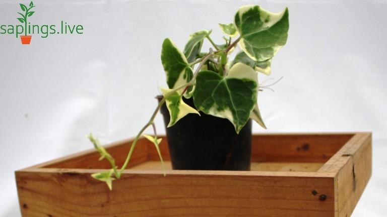 20 Best House Plants - Algerian Ivy Plant